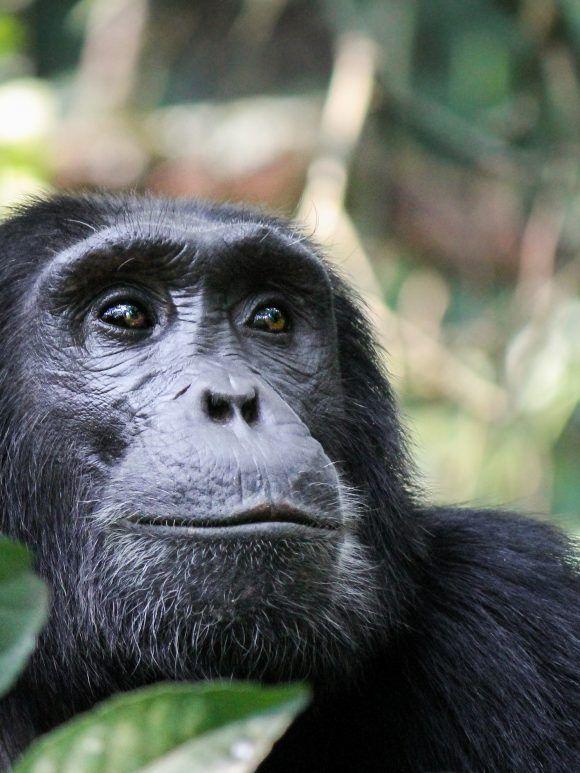Sur les traces du chimpanzé - Enjeux Nord-Sud de la conservation d'une espèce emblématique